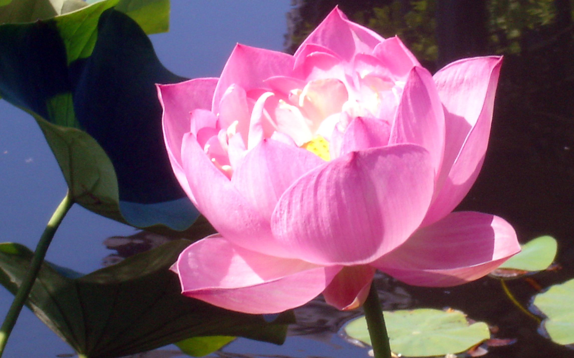 fleur-de-lotus1 dans parole de Dieu