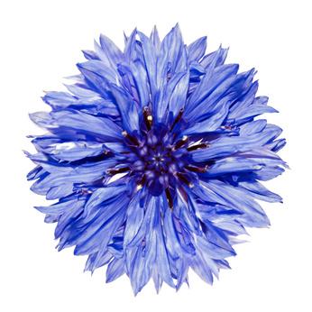 236 la petite fleur bleue chronique libre d 39 yves ponroy. Black Bedroom Furniture Sets. Home Design Ideas